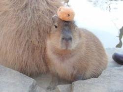 Capibara_2